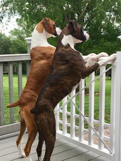 Neighborhood watch! #boxers #boxersisters #fawnboxer #brindleboxer @emma.gracie.boxers