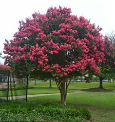 Tuscarora Crape Myrtley is a hybrid between the Japanese Crape Myrtle (Lagerstroemia faurei) and the common Crape Myrtle (Lagerstroemia indica), which was developed by the US National Arboretum in 1978. It produces long lasting clusters of dark pink flowers.