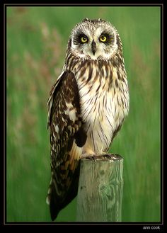 Short-eared Owl (Asio flammeus) on fence post. Photo by Ann Cook. Location: Manitoba, Canada.,Short-eared Owls occur widely in the Old World, in Iceland, the Hawaiian Islands and North and South America. Northern populations are migratory and nomadic.