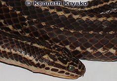 faranciae_holotype04.jpg