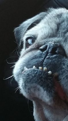 """Acquire fantastic pointers on """"pug puppies"""". They are available for you on our site. Animals And Pets, Baby Animals, Cute Animals, Black Pug Puppies, Pugs And Kisses, Pug Pictures, Cute Pugs, Funny Pugs, Pug Love"""