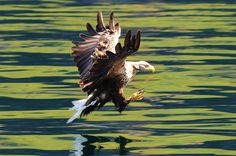 This is a beautiful shot of a white tailed sea eagle taken by Charlie.syme on Aug 2012 in Gometra, Scotland, GB.