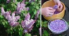 Nápady a Tipy Lilac Flowers, Small Flowers, Latest Hair Color, Weed Killer, Flower Oil, Lilac Color, Cheese Cloth, Spring Garden, Parsley