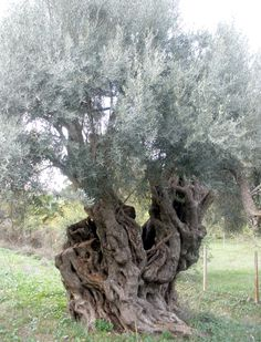 very old olive tree in Greece