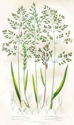 Google Image Result for http://www.blog.designsquish.com/images/uploads/botanic_illustration_grass_7_thumb.jpg