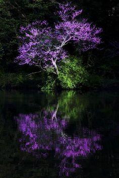 Reflexos de uma árvore púrpura.  Fotografia: Ada.