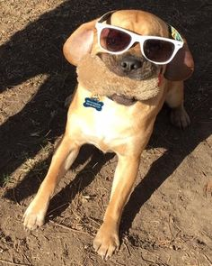Summer Time! Cute Puppies, Dogs And Puppies, Shock Collar, Happy Photos, Girls Best Friend, Playing Dress Up, Best Dogs, Animal Pictures, Cat Eye Sunglasses