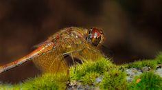 Free Images : nature, flower, photo, wildlife, insect, fauna, invertebrate, close up, 100mm, animals, dragonfly, naturaleza, a77, minolta, g, ggl1, gaby1, xovesphoto, animales, liblula, sonya77, minolta100mm, gphoto, gabrielcorua, xelodegalicia, macro photography 3048x1697 -  - 301261 - Free stock photos - PxHere