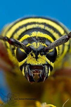 Megacyllene robiniae--Locust Borer