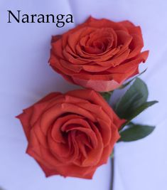 Naranga Orange Rose by Harvest Wholesale Roses in NYC Orange Roses, Coral Orange, Orange Brown, Wholesale Roses, Rose Varieties, Color Studies, Vegan Recipes Easy, Fresh Vegetables, Growing Plants