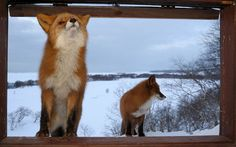 These two wild foxes were lured to the window of Igor Shpilenok's remote log cabin by the smell of his cooking...  Picture: Igor Shpilenok / Barcroft Media