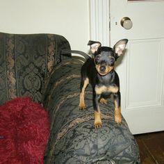 Roxy. Miniature pinscher Mini Pinscher, Miniature Pinscher, Doberman Pinscher, Min Pin Puppies, Min Pins, I Miss Her, Chihuahuas, Miniture Things, Sheltie