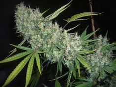 Critical mass ---Plant of the day