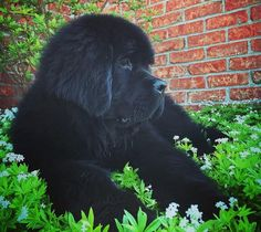 People Who Dreamed of Having a Big Teddy Bear at Home, So They Got a Newfoundland Dog – Viral News Room Cute Dog Pictures, Dog Photos, Newfoundland Puppies, Giant Teddy Bear, Fluffy Dogs, Kittens And Puppies, Lap Dogs, Good Buddy, Labrador Retriever Dog