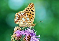 Papillon, Petit Papillon Nacre