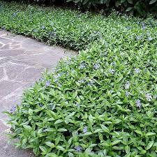 pikkutalvio varpumainen maanpeittokasvi