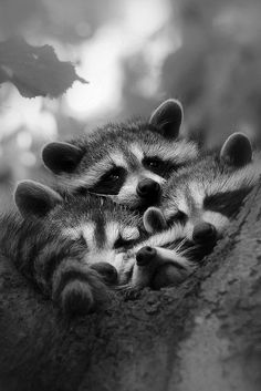 Noses ❤️ Scary Animals, Nature Animals, Animals And Pets, Funny Animals, Cute Animals, Amazing Animal Pictures, Cute Raccoon, Racoon, Cute Creatures