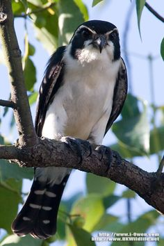 Pied falconet, one of the smallest birds of prey