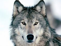 Wolf one of my favorite animals