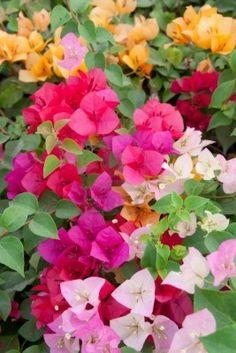 beautiful multi-colored bougainvillea paper flowers Stock Photo