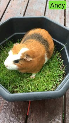Diy Guinea Pig Cage, Guinea Pig Food, Baby Guinea Pigs, Guinea Pig Care, Pet Pigs, Diy Guinea Pig Toys, Guinea Pig Costumes, Guinea Pig Hutch, Baby Pigs