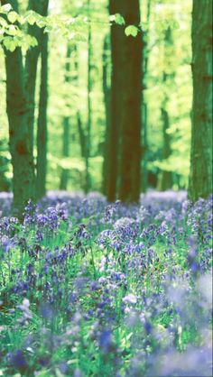 Bluebells two