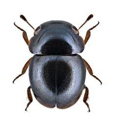 Cybocephalus rufifrons (Reitter, 1874) F Cybocephalidae