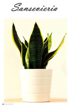 Sansevieria or Sanseveria is commonly known as Mother In Laws Tongue, or Snake Plant. Growing Succulents, Planting Succulents, Succulent Gardening, Succulent Plants, Container Plants, Container Gardening, Indoor Garden, Indoor Plants, Sansevieria Plant