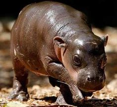 Pygmy Hippo  From Jeanette's board Amazing-Creation-Romans 1:20