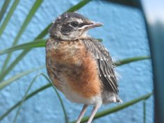 A fledgling robin in South Philly.