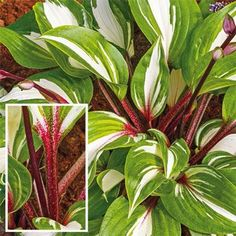 Raspberry Sundae Hosta (Zones: 3 to - This hosta features bright green leaves with heavy snowy white variegation topped off by rich red petioles. Great in containers or any shady spot. Hosta 'Raspberry Sundae' coming April Hosta Plants, Shade Perennials, Shade Plants, Garden Plants, White Feather Hosta, Trees To Plant, Plant Leaves, Green Leaves, Hosta Varieties