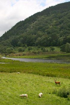 Deer near Glendalough