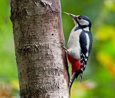 Great spotted woodpecker () Deze grote bonte specht kon het niet laten om even zijn tong uit te steken. Leverde mij in iedergeval een leuk plaatje op.