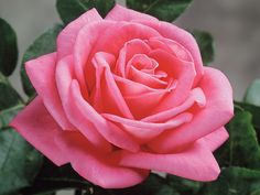 Is This Rose Fragrant? Depends on the Nose of the Beholder! | Star Roses & Plants