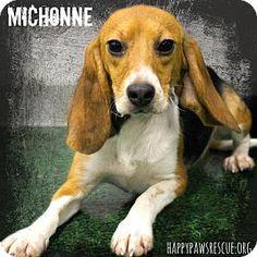 South Plainfield, NJ - Beagle. Meet Michonne, a dog for adoption. http://www.adoptapet.com/pet/12190932-south-plainfield-new-jersey-beagle