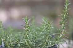 Proper Technique for Trimming Rosemary Plants