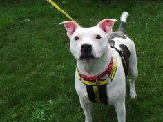 Can you give Rescue dogs a home? All of our dogs are looking for a new home. Find out more today at Dogs Trust! Shelter Dogs, Rescue Dogs, Dogs Trust, Staffordshire Bull Terrier, Pitbulls, Pup, Adoption, Cats, Animals
