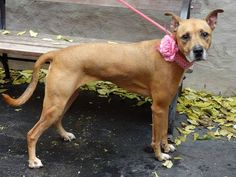 """TO BE DESTROYED-11/9/13 Manhattan Center CINNAMON  # A0984123 FEMALE  BROWN/WHITE  ANATOL SHEP MIX 3 YRS STRAY 11/4/13 - A good Samaritan who brought Cinnamon in writes """"She's super friendly & great w/ kids. Friendly w/ people"""". *Cinnamon did not show aggression or guarding concerns during her behavior exam but does appear to need enrichment & retrainning to help w/ shyness/nervousness. This sweet girl has not had an easy life, and is looking for someone to help her trust again. SUCH…"""