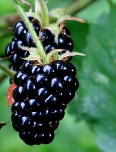 Basic types of blackberries, overview of planting and care, potential pests