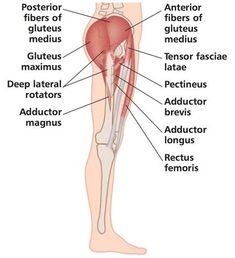 Hip Pain and Trigger Points - Overview Hip Pain and Dysfunction Therapist Home Study Course Hip Adductors Hip Abductors Hamstring Muscles Hip Stretching Exercises, Hip Flexor Exercises, Hamstring Muscles, Stretching Program, Muscle Stretches, Sciatica Exercises, Hip Pain Relief, Bursitis Hip, Muscle Anatomy