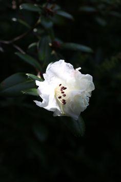 White Rhododendron in the Connie Hansen Garden, Lincoln City, Oregon