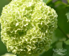 Snowball Flower, in the early Spring hue of green before they turn white. I love this color!  Available now at www.hilltop-arts.com