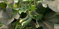 Le concombre est une plante potagère coureuse de la grande famille des Cucurbitacées, co