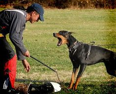 By John Soares An important consideration in training the Doberman for IPO/Schutzhund is understanding their aggression/defense. Service Dog Training, Service Dogs, Doberman Training, Doberman Pinscher Puppy, Doberman Love, Most Beautiful Dogs, Military Dogs, Police Dogs, Working Dogs