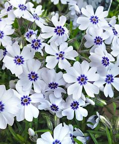 Perennial plants, also known as herbaceous plants, live for 2 or more years & flower every year. Buy perennial & biennial plants from our UK online range now. Hardy Perennials, Flowers Perennials, Planting Flowers, White Perennial Flowers, Garden Shrubs, Garden Plants, Fast Growing Flowers, Fast Flowers, Front Yards