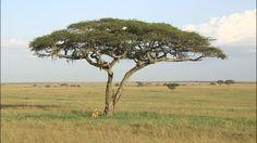 タンザニアの『セレンゲティ国立公園』。今、この大平原で異変が起きています。何気ないある日の風景に見えますが…よく見ると、木の上で群れているのはライオン!普通は木に登らないライオンが、あちこちで樹上を住み家にし始めています。
