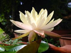 Light yellow water lily