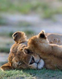 lion family #BigCatFamily