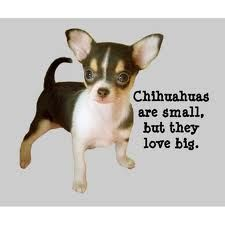 Chihuahuas are small but they love big.