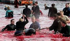 """Circulating message claims that attached photographs depict a bloody whale slaughter near a shore in the Faroe Islands. The message claims that, since the Faroe Islands """"belong"""" to Denmark, it is Denmark's responsibility to stop the slaughter. Pilot Whale, Stop Animal Cruelty, Faroe Islands, Animal Welfare, Animal Rights, Beautiful Creatures, Dolphins, Denmark, World"""